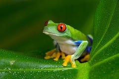 Красно-наблюданная древесная лягушка Амазонки (Agalychnis Callidryas) Стоковые Фото