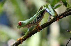 Красно-наблюданная древесная лягушка на движении Стоковые Фотографии RF