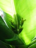 Красно-наблюданная древесная лягушка, тень callidryas agalychnis на лист Стоковые Фотографии RF