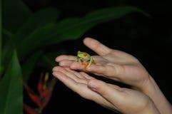 Красно-наблюданная древесная лягушка Стоковые Фотографии RF