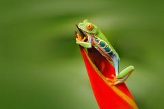 Красно-наблюданная древесная лягушка, callidryas Agalychnis, животное с большими красными глазами, в среду обитания природы, Кост стоковая фотография