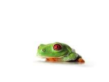 Красно-наблюданная древесная лягушка (119), callidryas Agalychnis Стоковые Изображения
