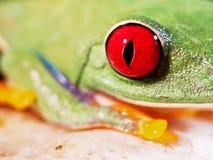 Красно-наблюданная древесная лягушка (157), callidryas Agalychnis Стоковая Фотография RF