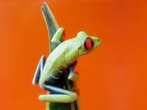 Красно-наблюданная древесная лягушка 137, callidryas Agalychnis Стоковая Фотография RF