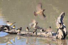 Красно-наблюданный Bulbul - африканские одичалые птицы - флаттер и пер цвета Стоковая Фотография