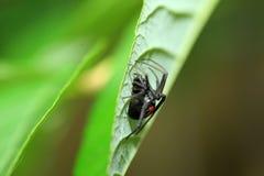 Красно--назад паук вдовы Стоковое фото RF