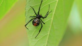 Красно--назад паук вдовы акции видеоматериалы