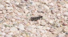 Красно-подогнали pseudonietana Arphia кузнечика на скалистой земле Стоковые Изображения