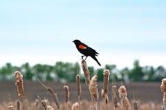 Красно-подогнали черная птица на bulrushes Стоковое Изображение RF