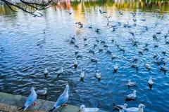 Красно-представленная счет чайка в парке Cuihu, Kunming, Юньнань, Китае стоковая фотография