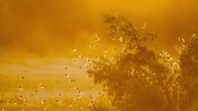 Красно-представленное счет Quelea в национальном парке Kruger, Южной Африке стоковая фотография rf