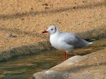 Красно-представленная счет чайка на песочной земле стоковое изображение