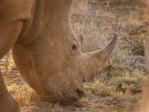 Красно-представленное счет oxpecker на носороге стоковое изображение rf
