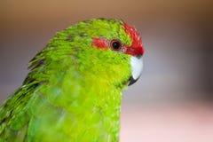 Красно-противостоят novaezelandiae Cyanoramphus длиннохвостого попугая Стоковые Фото