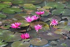 Красно-розовый зацветать воды лилии Стоковые Изображения RF