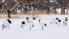Красно-увенчанные краны в птичьем заповеднике, Кусиро, Японии Стоковые Изображения