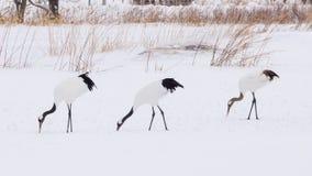 Красно-увенчанные краны в птичьем заповеднике, Кусиро, Японии Стоковые Изображения RF