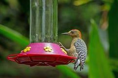 Красно-увенчанный woodpecker, Тобаго Стоковое Изображение