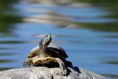 Красно-ушастая черепаха слайдера Стоковые Изображения