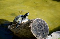 Красно-ушастая черепаха Стоковое Изображение