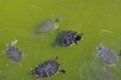 Красно-ушастые черепахи Стоковые Изображения