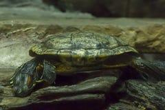 Красно-ушастый слайдер в зоопарке стоковое фото