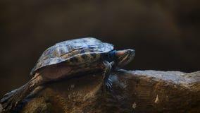 Красно-ушастый слайдер черепаха видеоматериал