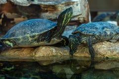 Красно-ушастый слайдер, aka красно-ушастая водяная черепаха стоковые изображения