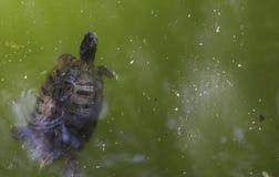 Красно-ушастый слайдер пруда Стоковое Фото