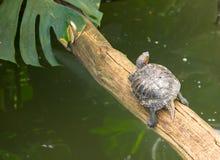 Красно-ушастый слайдер - среднего размера полу-акватическая черепаха Стоковое Изображение