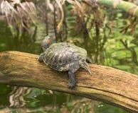 Красно-ушастый слайдер - среднего размера полу-акватическая черепаха Стоковая Фотография RF