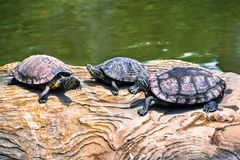 3 Красно-ушастых черепахи elegans scripta Trachemys слайдера стоковое фото rf