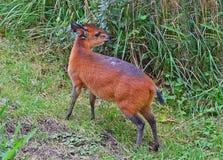 Красно-фланкированный дукер, крошечная антилопа стоковая фотография