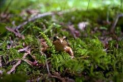 Красно-шагающая лягушка в мхе Стоковые Фотографии RF