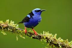 Красно-шагающее Honeycreeper, cyaneus Cyanerpes, экзотическая троповая голубая птица с красной ногой от Коста-Рика Tinny воробьин стоковое фото