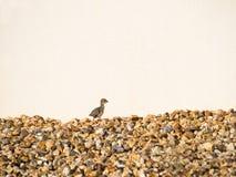 Красно-шагающий цыпленок куропатки бежать на камнях Стоковая Фотография