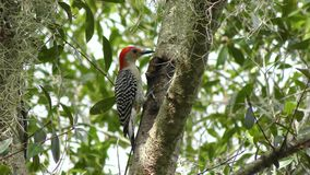 Красно-bellied питания woodpecker на насекомых сток-видео