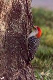Красно-Bellied подавать Woodpecker стоковые изображения