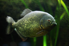 Красно-bellied piranha (nattereri Pygocentrus) Стоковое Изображение