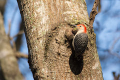 Красно-bellied woodpecker стоковые фото