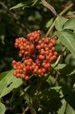 Красно--berried старейшина, Trosvlier, racemosa Sambucus стоковые изображения rf