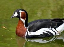 Красно--breasted гусыни ruficollis чёрной казарки гусыни breasted красным цветом Стоковые Фото