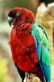 Красно--Breasted Мускус-попугай Стоковая Фотография RF