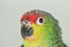 Красно-browed попугай Амазонки стоковые фото
