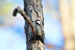 Красно--cockaded Woodpecker Стоковые Изображения RF