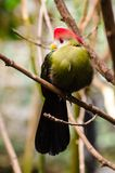 красно-crested erythrolophus Tauraco turaco Стоковое фото RF