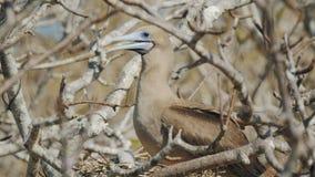 Красно-footed олух и цыпленок на гнезде на genovesa isla в galapagos сток-видео