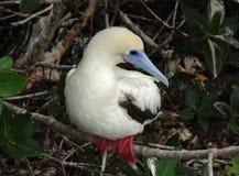Красно-Footed Олух-белые Morph, острова Галапагос стоковая фотография rf