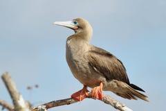 Красно-footed олух в острове Genovesa Стоковые Фотографии RF