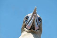 Красно-footed олух в острове Genovesa Стоковые Фото
